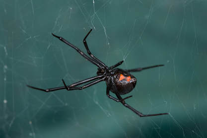black widow spider on a web
